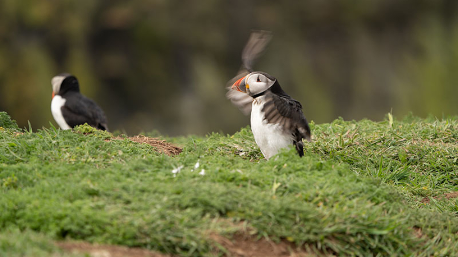 Puffin Wales